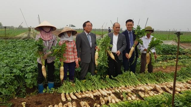 Ông Oh Young Cheol (Chủ tịch Công ty Nông nghiệp và Ngư nghiệp ILMI - Hàn Quốc), ông Phạm Ngô Quốc Thắng (Chủ tịch Hội đồng quản trị Lavifood) đi khảo sát thu mua củ cải cho bà con và hoạch định vùng nguyên liệu chế biến cho nhà máy sắp xây dựng tại Việt Nam