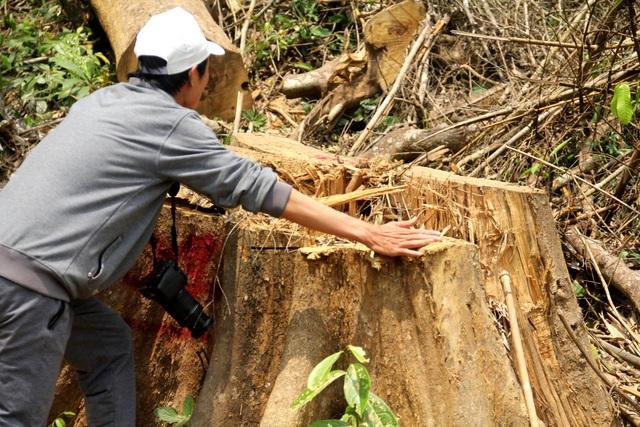 Một gốc cây lớn vừa bị xẻ