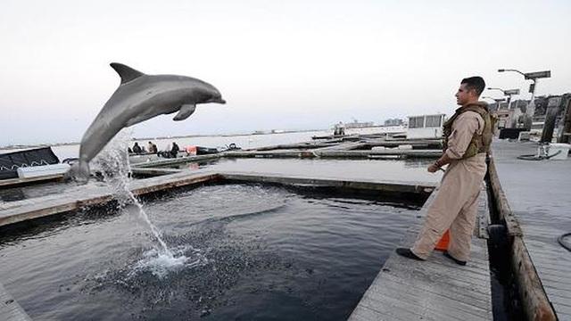 Cá heo được huấn luyện bảo vệ căn cứ Kitsap-Bangor . Ảnh: US NAVY