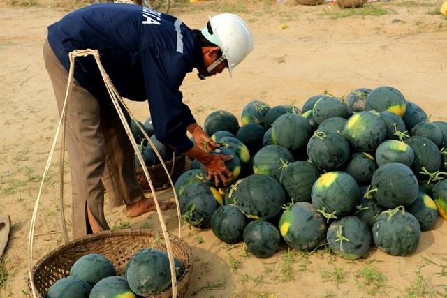 Với giá 5.000 đồng/kg dưa lớn, 3.000 đồng/kg dưa nhỏ nông dân vui mừng vì có lãi