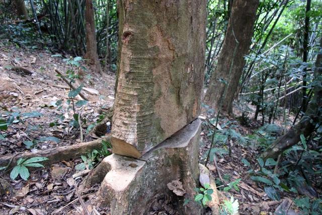 Một cây gỗ bị cưa dở