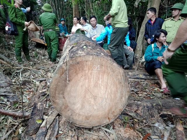 Nhiều cây gỗ lớn bị hạ sát