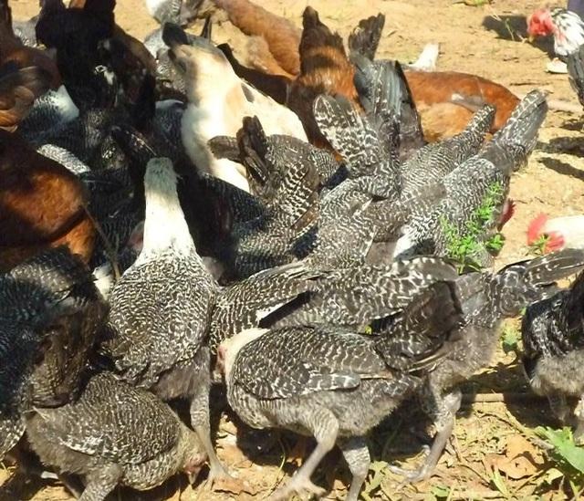 Đà gà giống và thịt trong trang trại tổng hợp của gia đình ông Thành.