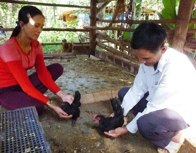 Ông Thành thuần dưỡng gà tre Serama (Thái Lan).