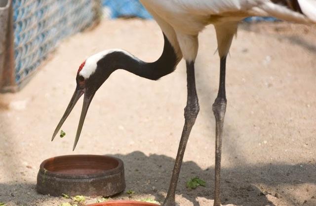 Ngắm loài chim cực quý, nằm trong sách đỏ thế giới ở Hà Nội - 3