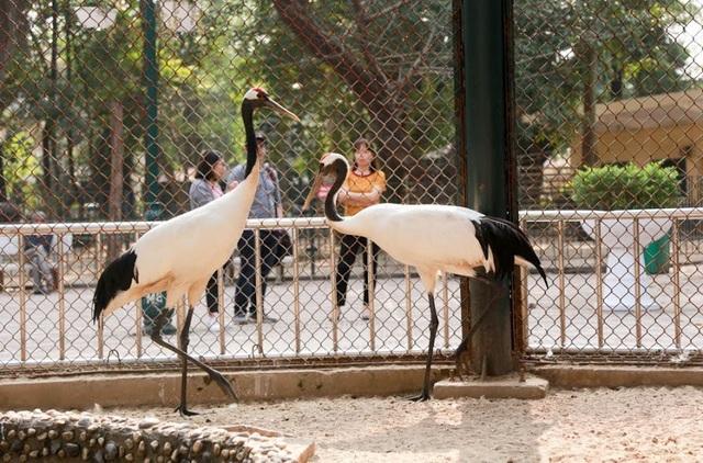 Sếu Nhật Bản hay còn gọi là sếu đỉnh đầu đỏ, được xem là loài sếu hiếm thứ hai trên thế giới, đây cũng được xem là loài vật biểu tượng cho sự trường tồn ở đất nước Nhật Bản. Vào năm 2011, vườn thú Ueno ở Tokyo (Nhật Bản) đã gửi tặng Vườn thú Thủ Lệ (Hà Nội) một đôi sếu Nhật Bản. Hiện đôi sếu này sinh trưởng khá tốt và thu hút đông đảo khách tham quan chiêm ngưỡng khi đến thăm vườn thú.
