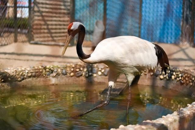 Loài sếu này có lông màu trắng, diềm cánh đen, đỉnh đầu có đám da trần màu đỏ trông như mào. Ở Nhật Bản, sếu đầu đỏ được xem là loài chim lớn nhất, khi trung bình một con sếu trưởng thành có thể đạt trọng lượng từ 7-10kg, thậm chí có những con sếu được ghi nhận nặng đến 15kg.