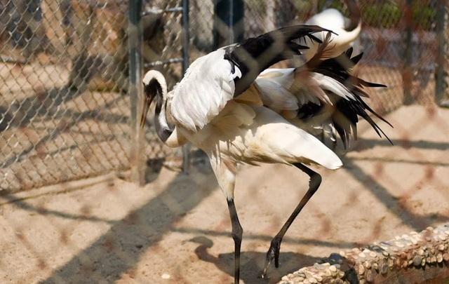 Theo ước tính, hiện nay chỉ còn có khoảng 1500 con sếu Nhật Bản cư trú trong thiên nhiên hoang dã, trong đó 1000 con sống tại Trung Quốc. Đây là một trong những loài chim có nguy cơ tuyệt chủng nhất trên thế giới.
