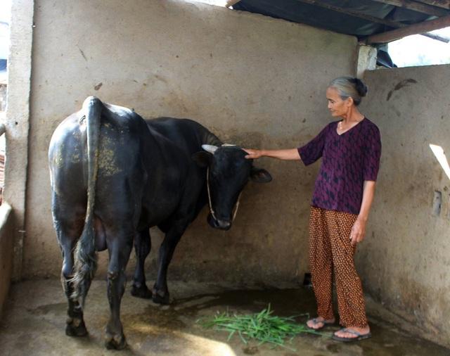Hầu hết các hộ dân ở thôn Phong Niên và Phú Lộc xã Hòa Thắng đều có bò bị bệnh