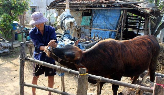 Ông Trương Hiền dùng quả quất để sát khuẩn miệng bò