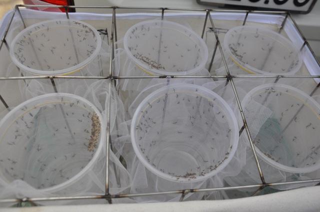 Theo các chuyên gia, phương pháp ứng dụng muỗi mang Wolbachia là tự nhiên, an toàn