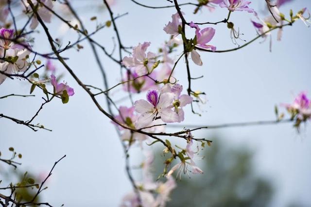 Sắc trắng tím hoa ban mang đến vẻ đẹp lãng mạn cho Hà Nội những ngày đầu tháng 3