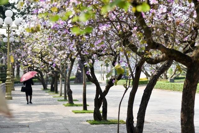 Cả góc phố như sáng bừng giữa tiết trời se lạnh đầu năm nhờ sắc hoa ban Tây Bắc.