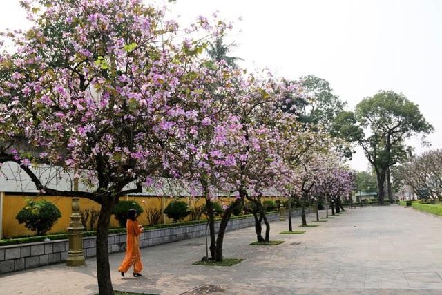 Những con phố rực rỡ, khoe sắc tím hoa ban