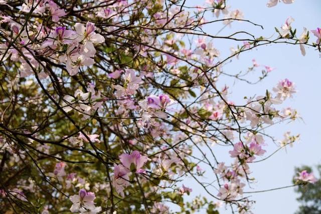 Những cánh hoa ban mềm mại, tinh khiết