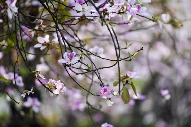 Ở Hà Nội, hoa ban nở đẹp nhất là đường Hoàng Diệu, đường Bắc Sơn, Thanh Niên… Những cánh hoa ban trắng muốt pha sắc tím hồng lãng mạn mang đến hương vị của núi rừng Tây Bắc giữa lòng Thủ đô.