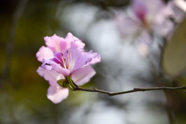Hoa ban thường 5 cánh, có chút phớt tím nhẹ, có khi lại trắng như bông.