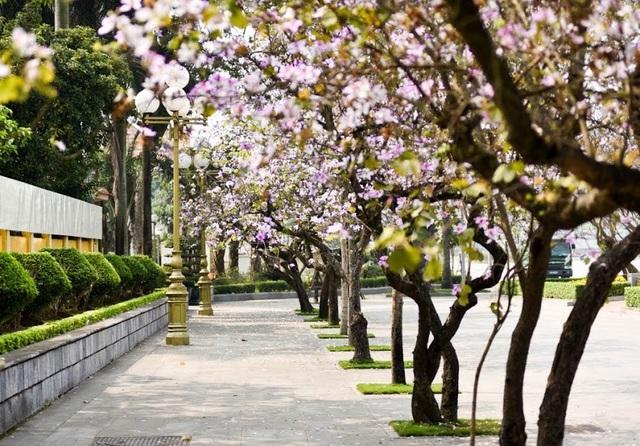 Đến hẹn lại lên, vào những ngày đầu tháng 3, trên nhiều con đường, tuyến phố ở Hà Nội lại được bao phủ bởi sắc tím nhẹ nhàng của hoa ban.