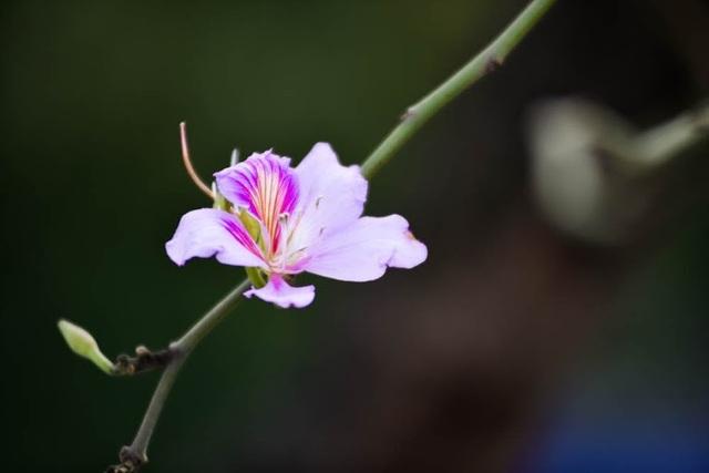 Tháng 3, Hà Nội đẹp ngỡ ngàng màu tím hoa ban - 11