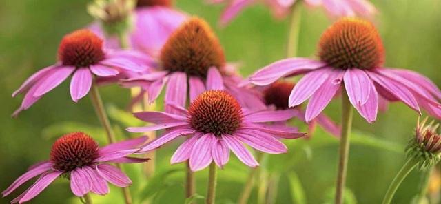 Từ lâu hoa cúc tím (Echinacea) đã được sử dụng để điều trị nhiễm trùng