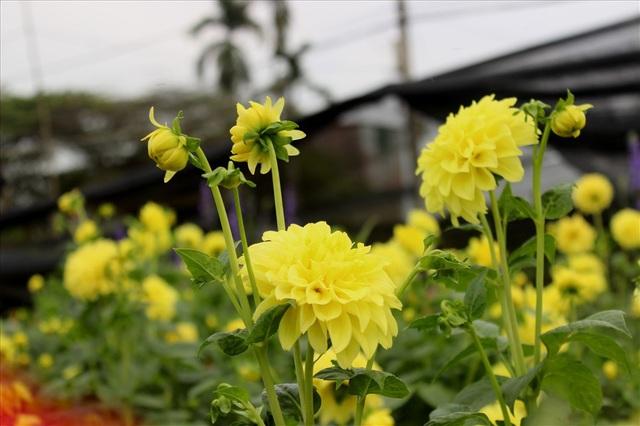 Làng hoa Tây Tựu trầm lắng dù cận ngày Quốc tế Phụ nữ 8.3 - 3