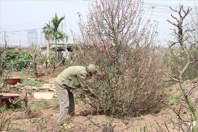 Nhiều cây đào được mang về các chủ vườn chăm sóc, phục vụ cho mùa tết năm tới.