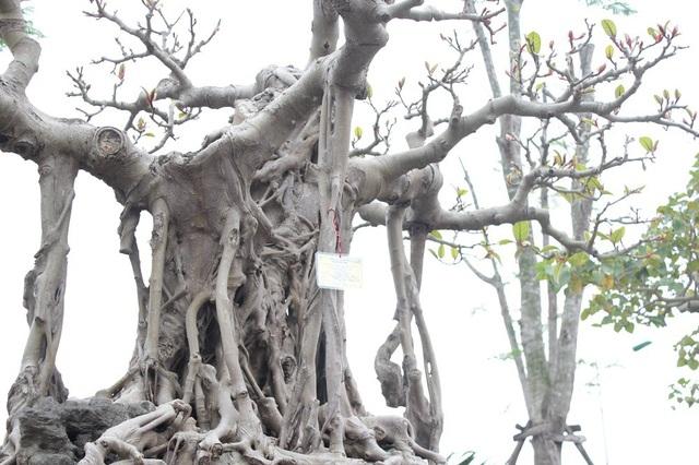 Đa cổ trăm tuổi mọc trên đá và cuộc ngã giá 10 cây vàng của đại gia Hà Nội - 4