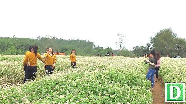 Cánh đồng hoa tam giác mạch ở Nghĩa Đàn - hướng đi mới trong phát triển du lịch Nghệ An.