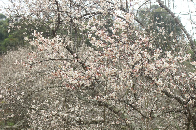 Lạc vào thiên đường mùa mơ trắng ở Mộc Châu - 9