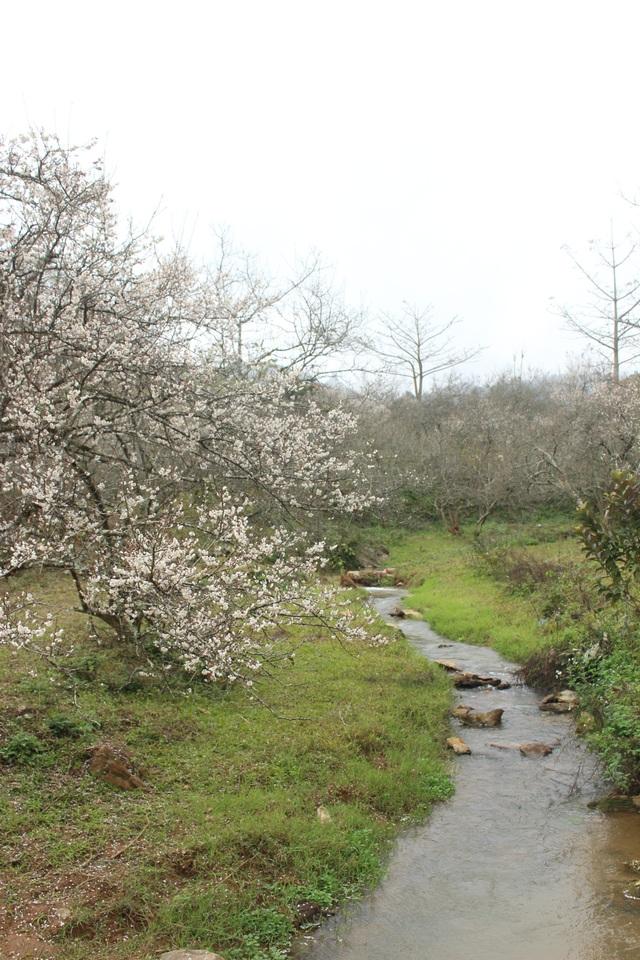 Lạc vào thiên đường mùa mơ trắng ở Mộc Châu - 6