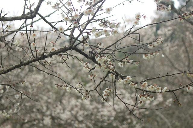 Sắc trắng tinh khôi của loài hoa này tạo cho nơi đây cảnh sắc tuyệt đẹp như chốn thần tiên