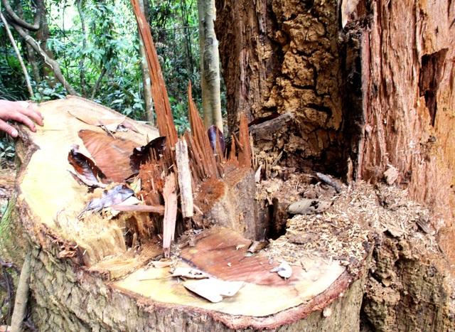 Một cây gỗ lim bị lâm tặc chặt hạ trơ gốc