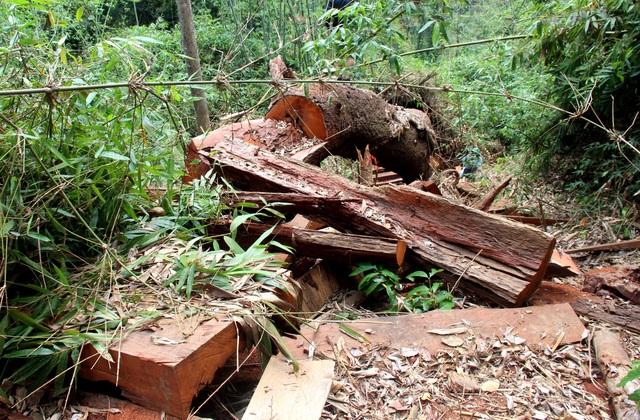 Các phách gỗ lim bị bỏ lại, chưa kịp vận chuyển ra