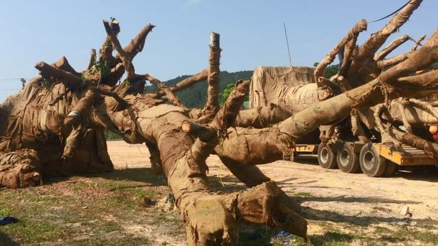 """3 cây """"quái thú"""" là đa sộp, một người Hà Nội mua từ Đắk Lắk chuyển về Thạch Thất - 2"""