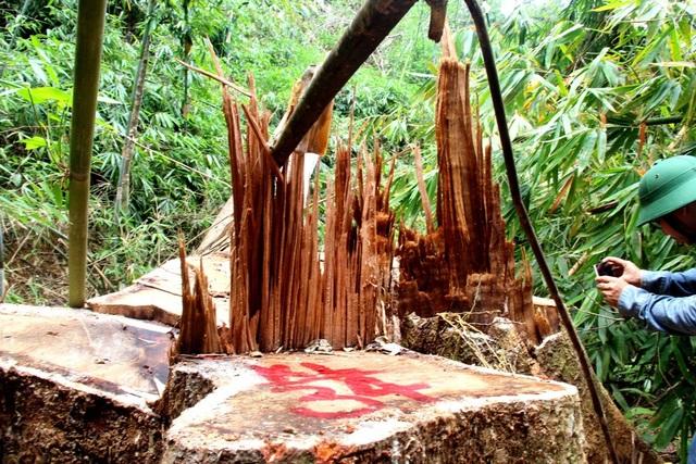 Rừng lim xanh ở huyện Nam Giang bị lâm tặc hạ sát