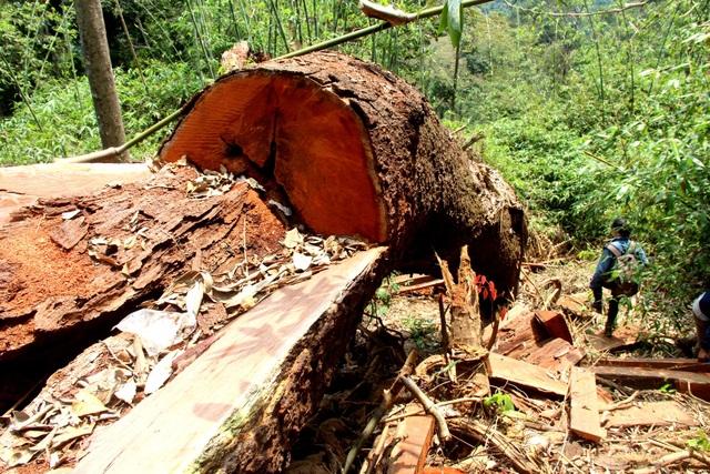 Những cây lim xanh cổ thụ bị lâm tặc hạ sát ở rừng phòng hộ Nam Sông Bung, huyện Nam Giang bị phát hiện tháng 3/2018