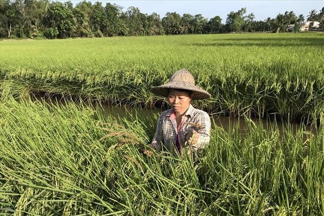 Mô hình lúa sạch hữu cơ ở cù lao Hòa Minh và Long Hòa. Ảnh: T.L