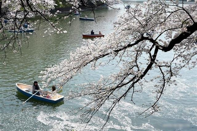 Ngất ngây trước cảnh hoa anh đào nở rộ, cánh hoa phủ sông hồ ở Tokyo - 1