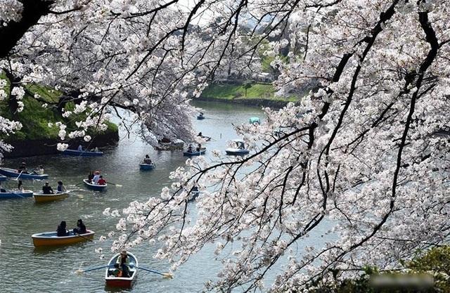 Ngất ngây trước cảnh hoa anh đào nở rộ, cánh hoa phủ sông hồ ở Tokyo - 4