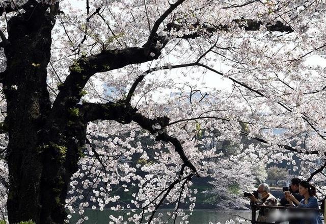 Ngất ngây trước cảnh hoa anh đào nở rộ, cánh hoa phủ sông hồ ở Tokyo - 8
