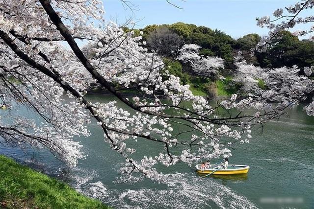 Ngất ngây trước cảnh hoa anh đào nở rộ, cánh hoa phủ sông hồ ở Tokyo - 9