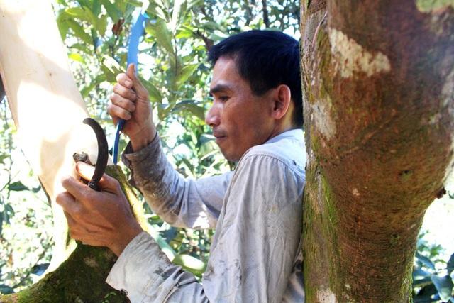 Người trồng quế thu hoạch vỏ quế tươi