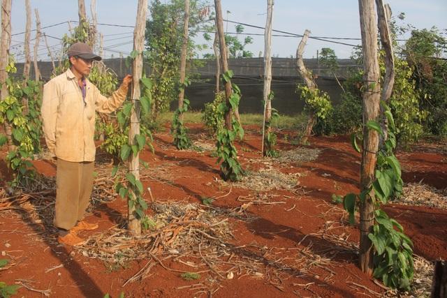 '' Phá bỏ vườn tiêu chết, dân chuyển ra trồng cây Sachi ''