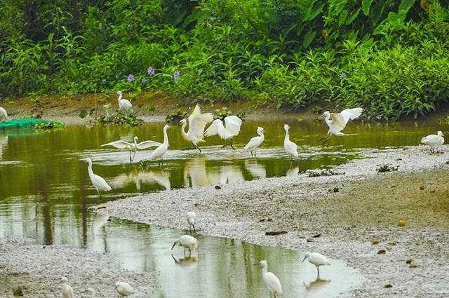 Bãi bồi bên sông Hoàng Long là nơi sinh sống và kiếm ăn của rất nhiều con cò trắng. (Ảnh: Minh Đức/TTXVN)