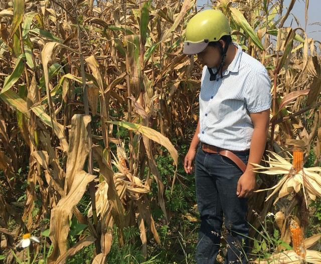 Dân hoang mang vì bắp ít hạt, nhiều cây hạt không có hạt