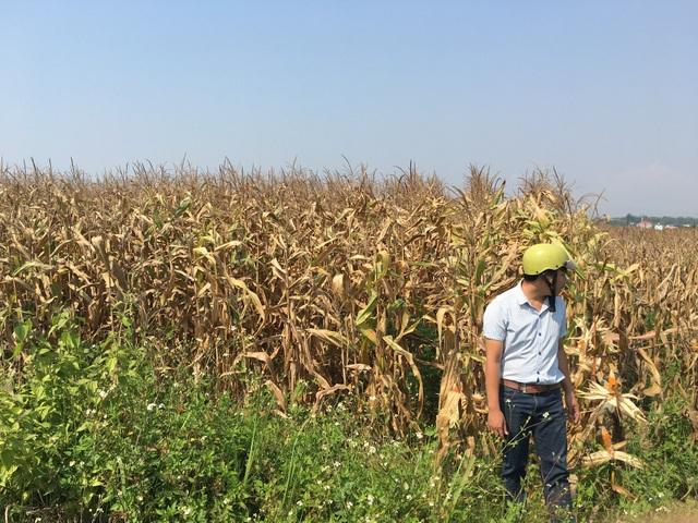 Dù bắp đã đến thời gian thu hoạch nhưng vì không có hạt hoặc ít hạn nên vẫn nằm phơi đồng