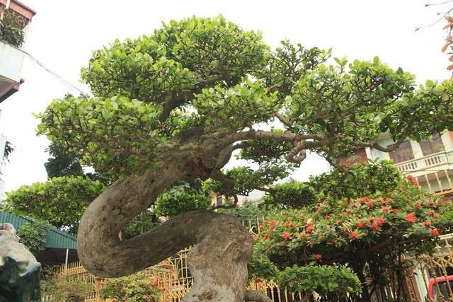 """""""Cây có tuổi đời lâu năm và được các nghệ nhân chơi cây trước kia uốn trồng, toàn thân cây uốn lượn theo hình chữ Tâm. Tính đến thời điểm hiện tại, cây được nhiều người chơi cây cảnh ở Việt Nam và trên thế giới đánh giá là cây duối đẹp nhất thế giới. Giá trị của cây bây giờ phải lên tới cả triệu đô"""", anh Toàn khẳng định."""