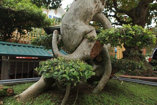 Thân cây u bướu và uốn lượn mềm mại