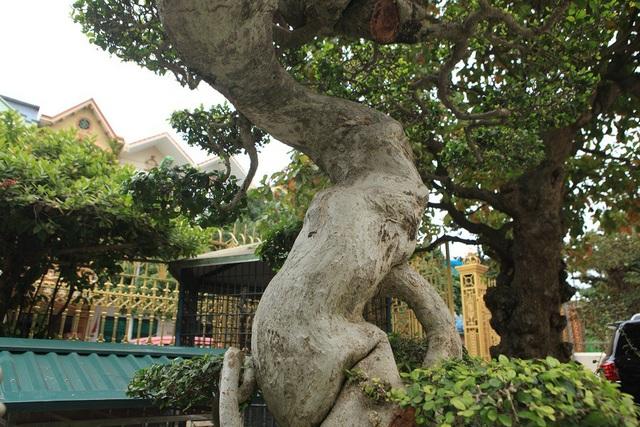 Theo vị đại gia này, ở Việt Nam, duối cổ không hiếm, có rất nhiều nhưng để tìm được một cây có tuổi đời lâu năm, thân uốn lượn mềm mại như thế này là cực kỳ hiếm có