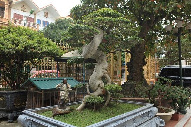 """Cây duối được anh Toàn mua cách đây 10 năm với giá 3,7 tỷ đồng. Theo chủ nhân của """"siêu cây này"""", ngoài vẻ đẹp hiếm có, cây còn có yếu tố phong thủy, trấn trạch."""